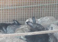 أرنب هولندي للبيع فقط