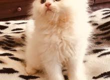 البيع قطط