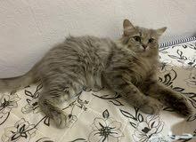 قطة شيرازية لعوبه وهادية