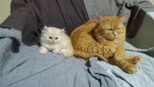 قطه الأم وبنتها