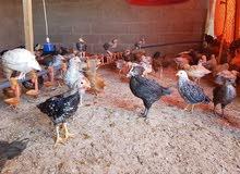 دجاج مهجن عماني فرنسي