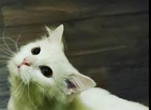 قط شيرازي ابيض