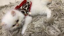 قطه الهيمالايا