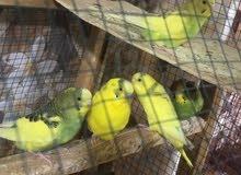 مطلوب طيور حب هولنديات جواهن افراخ أو بيض