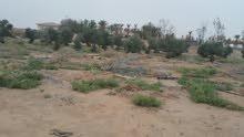 أشجار زيت الزيتون نقايل للبيع سبب البيع قله المويه