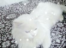 قطه بحاله جيده للبيع نوع شيرازي