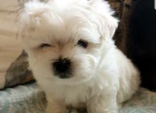 male and female Maltese puppies for sale