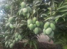 مزرعة 10 فدان  للبيع فى قرية بنى سلامة