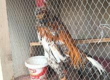 دجاج هراتي للبيع