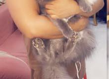 قطط هملايا بشيرازي مطعم (10) اشهر التوصيل لجميع المحافظات