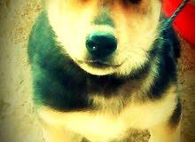 كلب بارجي