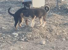 كلاب نوع هاسكي للبيع