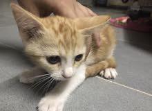 قطط شيرازي شعر خفيف