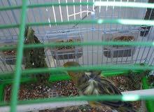 طيور كنار للبيع لعدم التفرغ ووجود مكان مناسب
