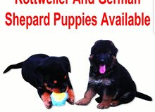 روت ويلر وجرمن شبرRottweiler & German Shepard puppies for sale