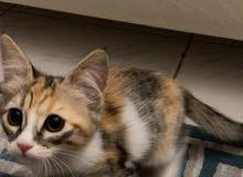 2 Kitten female