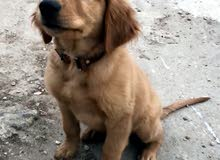 كلب جولدن