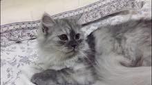 قطة شيرازي اصلي