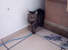 قطة شيرازي امريكي للبيع المستعجل