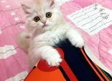 قطة شيرازية نوع (بيرشن) للبيع