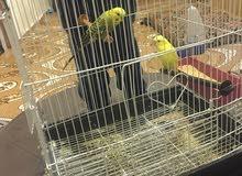 عصافير عدد 2 مع القفص نوع عصافير الحب