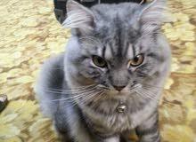 قطوسه فارسيه شيرازيه تركيه