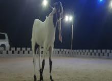 فحل تيس هولندي حجازي فاخر شرق الرياض