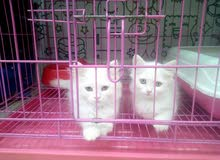 قطط شيراز بيور (مون فيس)