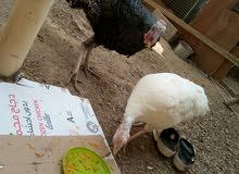 للبيع دجاج رومي السعر 30قابل لي اتفاوض