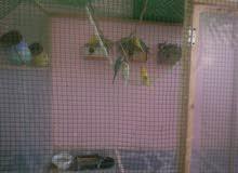فناجس وطيور حب امايات