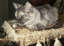 قطط رومية 5 شهور