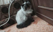 قطه هملايا للبيع 150قابل للتفاوض
