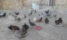دجاج عربي للبيع جمله فقط