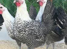 بيض دجاج الفيومي