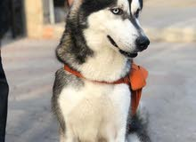 كلب الاسكا بيور