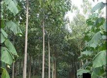 شجرة الولونيا