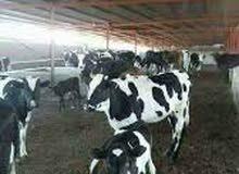 مطلوب مزارع لمزرعة بقر راتب مليون ونصف وسكن مؤمن
