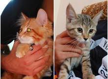 two kittens for sale  قطط للبيع