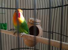 طائر love bird african للبيع