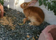 ارنب انثى حامل الصحة ممتاز جدا وإنتاج البيت الحجم كبير