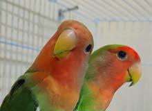 LOVEBIRDS PAIR  زوج طيور الحب هو لندى