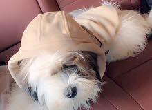 كلب ذكر  فصيلة شيتزو العمر 7 شهور متطعم تطعيمات كامله لعوب