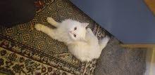 جوز قطط شيرازي