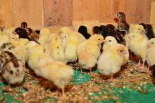 صيصان دجاج محلية