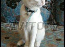 chat angora avec accessoire