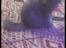 القطه حامل بس 100 ريال