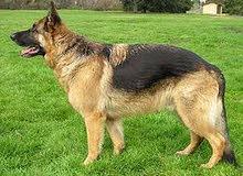 اريد كلب صغير نوعية الراعي الماني