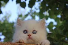 قطط همالايا اورنج مون فيس