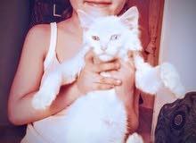 قط خاوماني تايلاندي للبيع