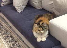 قطة انثى للبيع ( مع جميع ملحقاتها )
